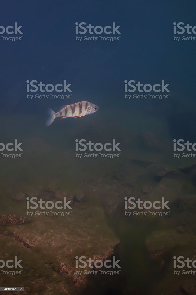 lonely perch swimming stock photo