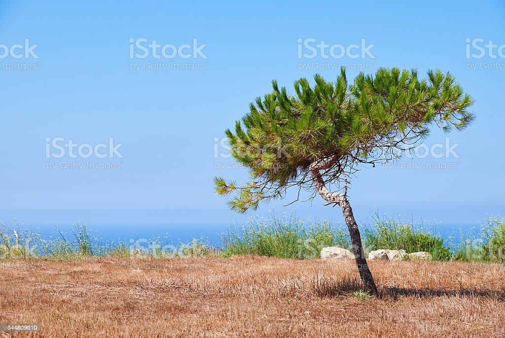 Lonely pine growing on the scorched earth on the stock photo