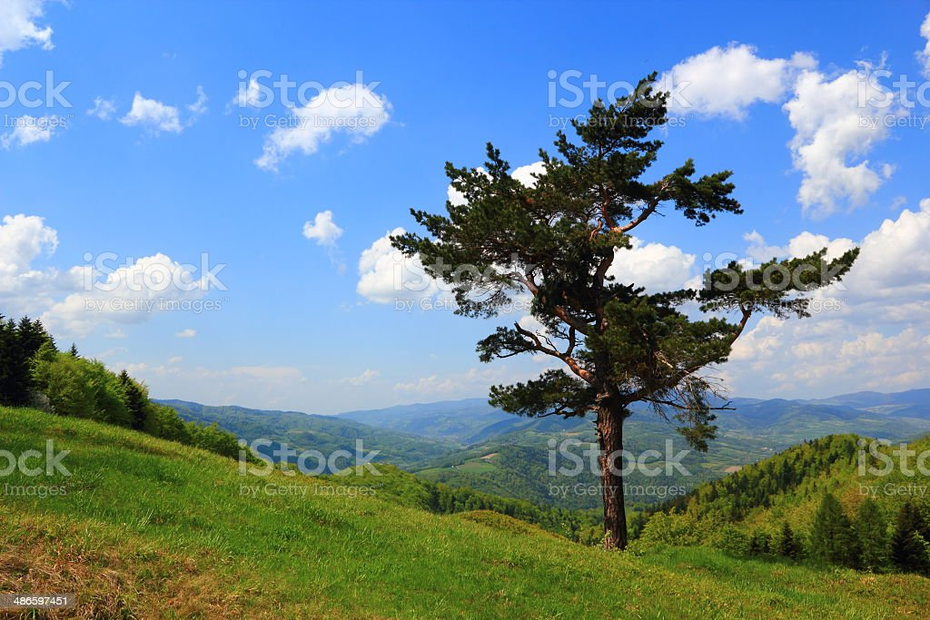 Lonely Pine in Spring in Mountains. Beskids, Poland. stock photo