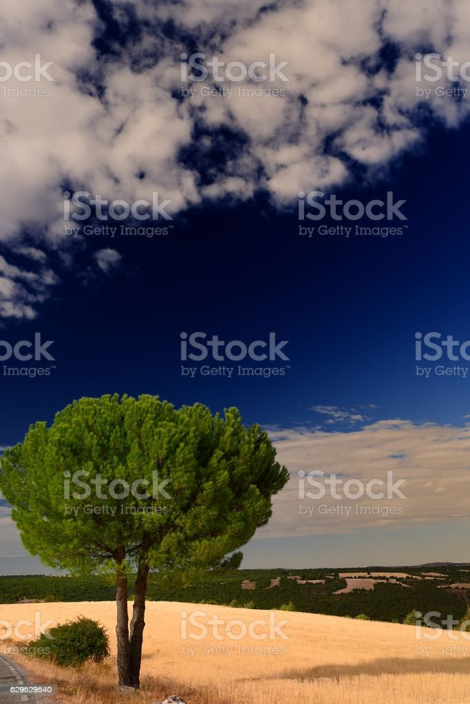 lonely pine foto de stock libre de derechos