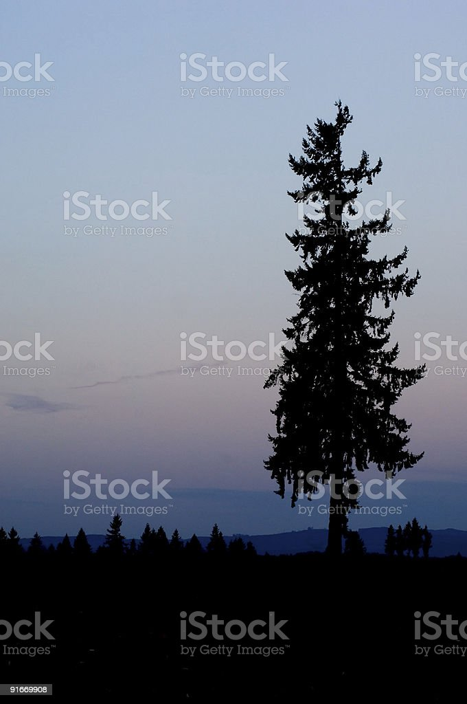 Lonely pine royalty-free stock photo
