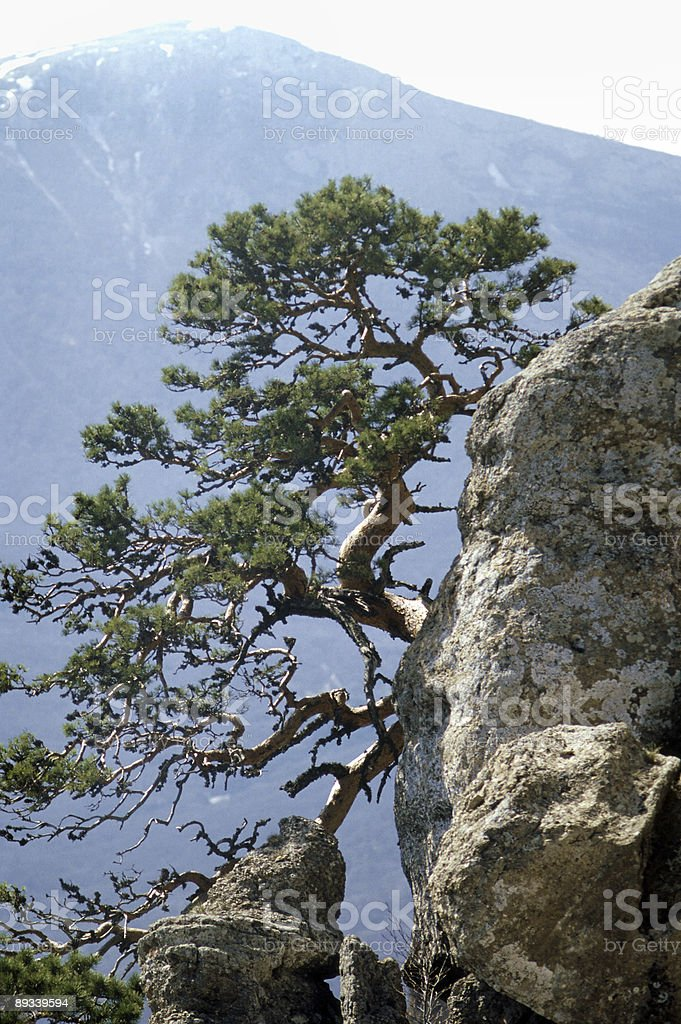 lonely pine tree on a cliff royalty-free stock photo