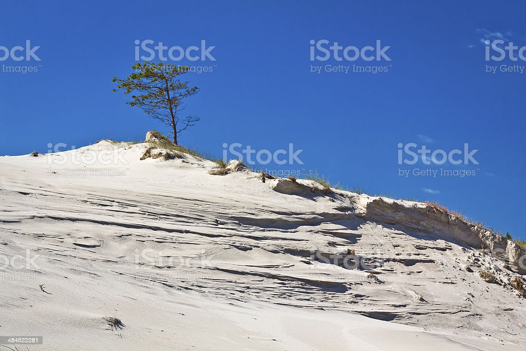 Lonely pine tree on the sand dune stock photo