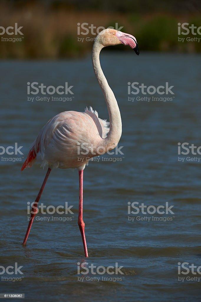 Lonely Pink Flamingo stock photo