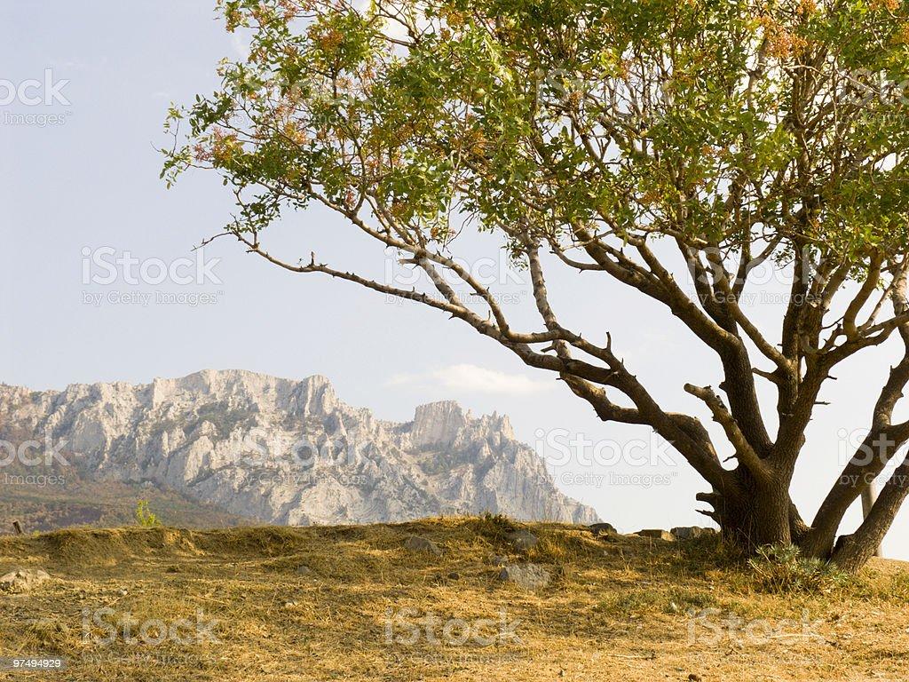 Lonely pistachio tree stock photo