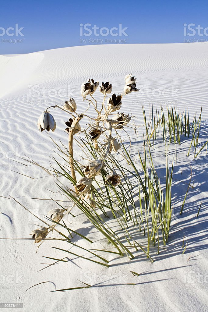 Lonely plant found in White Dunes National Monument stock photo