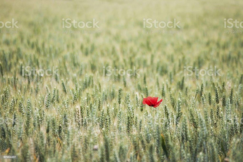 Lonely poppy in a wheat field stock photo