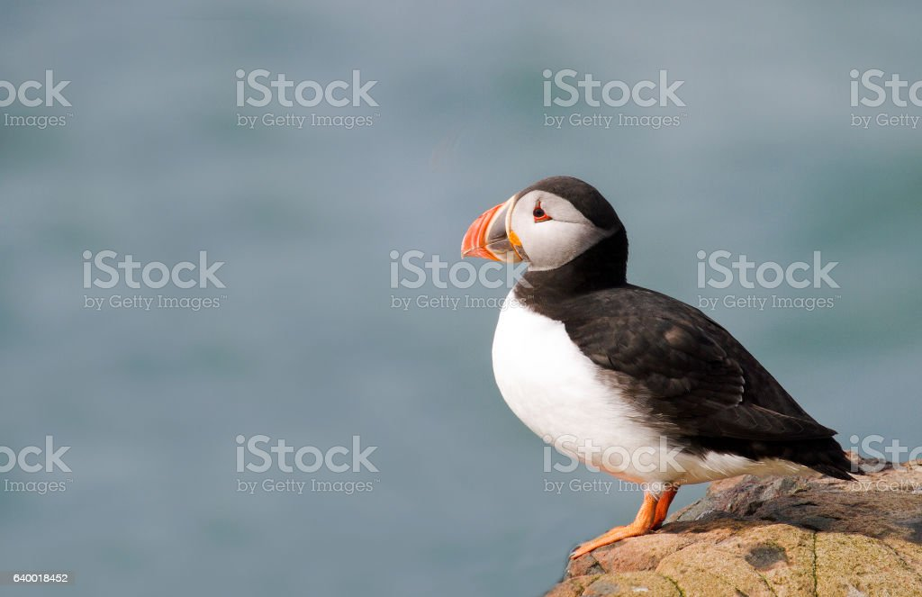 Lonely Puffin Sitting on edge of a cliff on Farne Islands stock photo