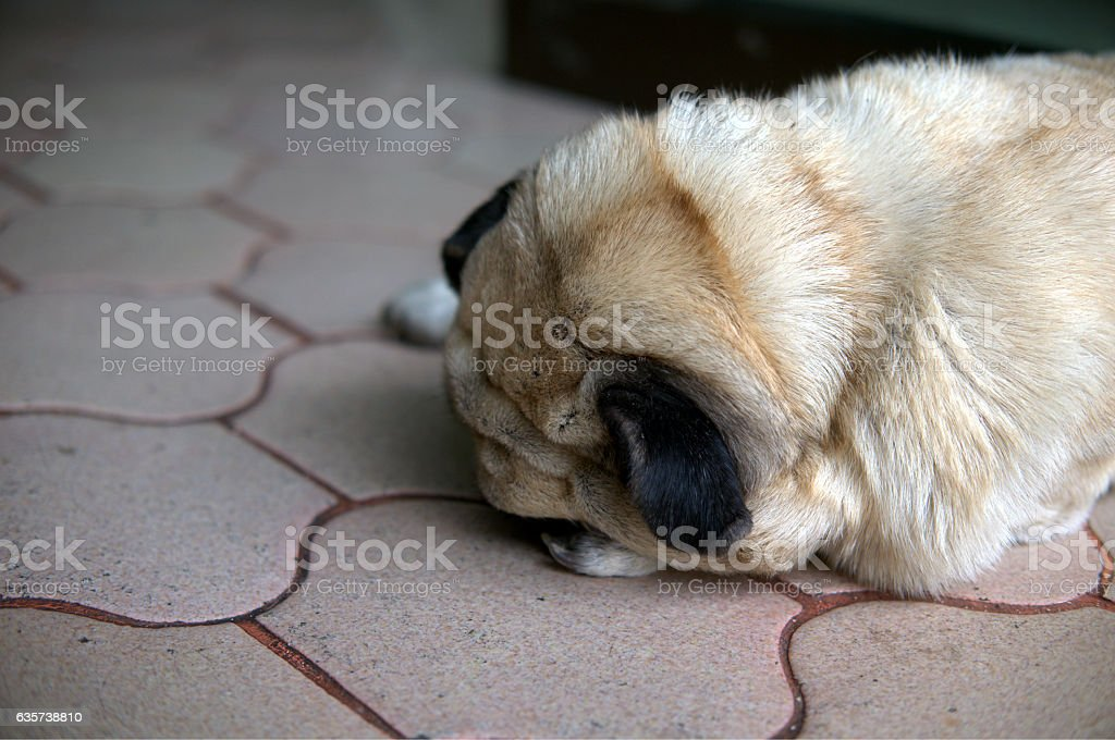 Lonely Pug Dog Sleeping on Brick floor with face down stock photo