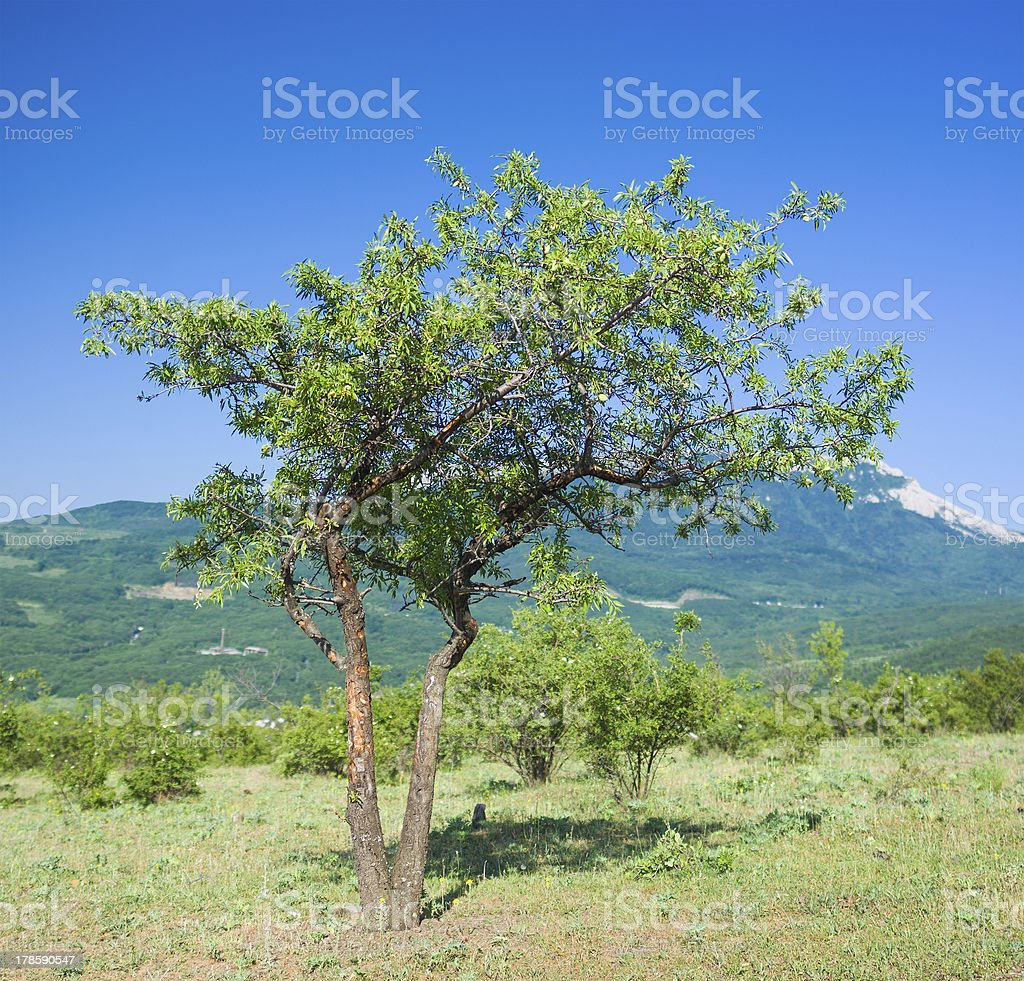 Lonely quince tree royalty-free stock photo