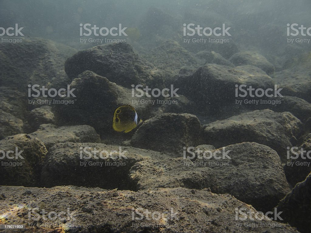 Lonely Raccoon butterflyfish royalty-free stock photo
