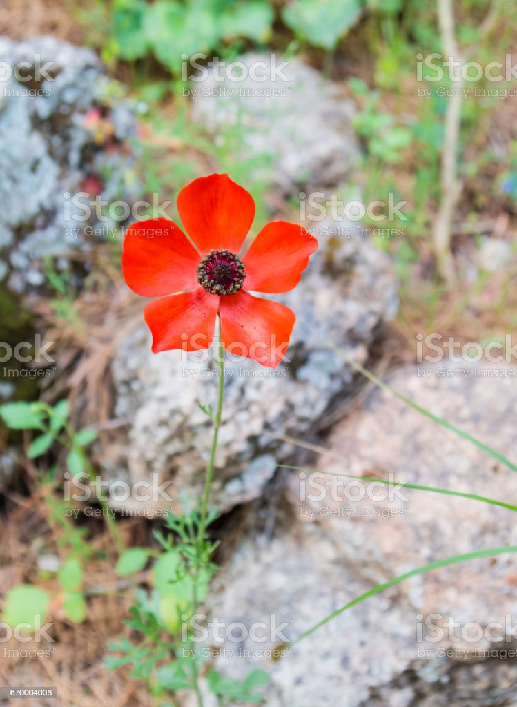 Lonely red poppy flower blossomed in a national park stock photo