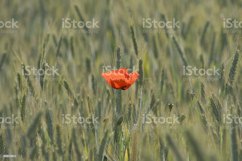 Lonely Red Poppy in a Wheat Field, Rural Scene stock photo