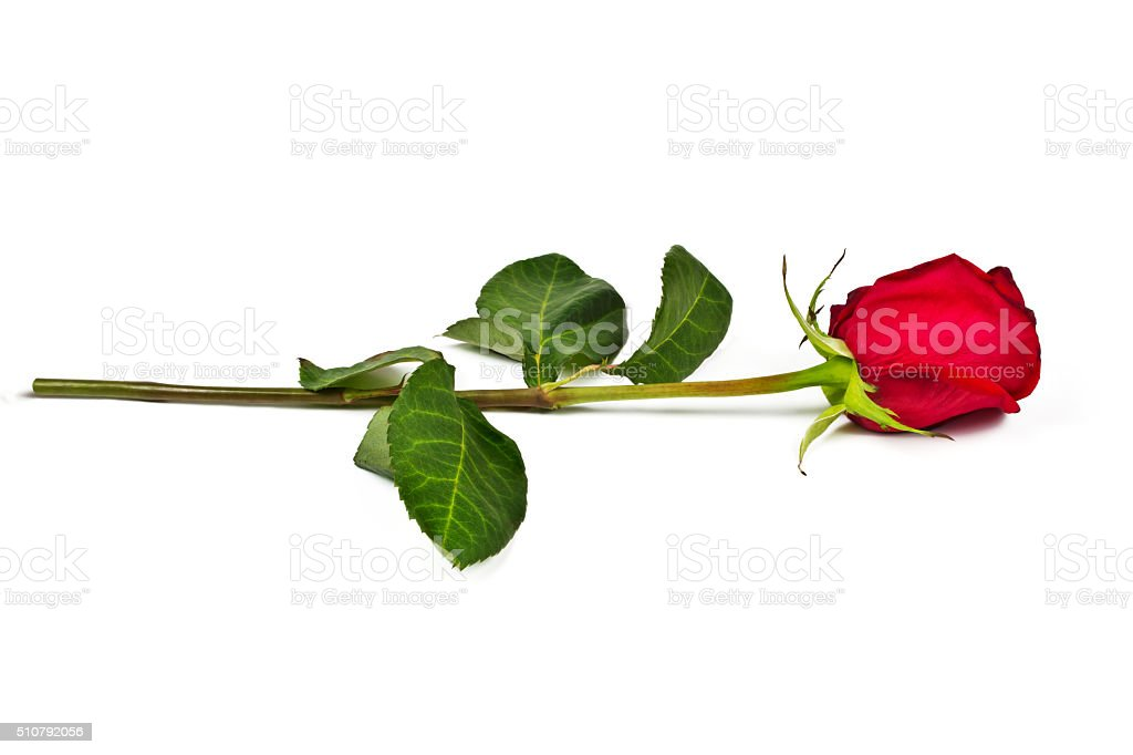 Lonely rose stock photo