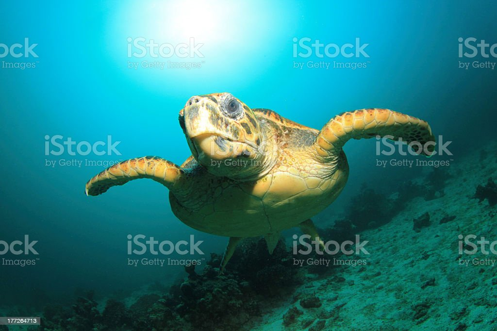Lonely sea turtle swimming at the bottom of the ocean stock photo