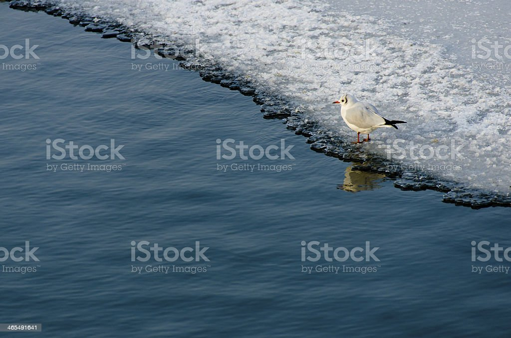 lonely seagull on frozen lake stock photo