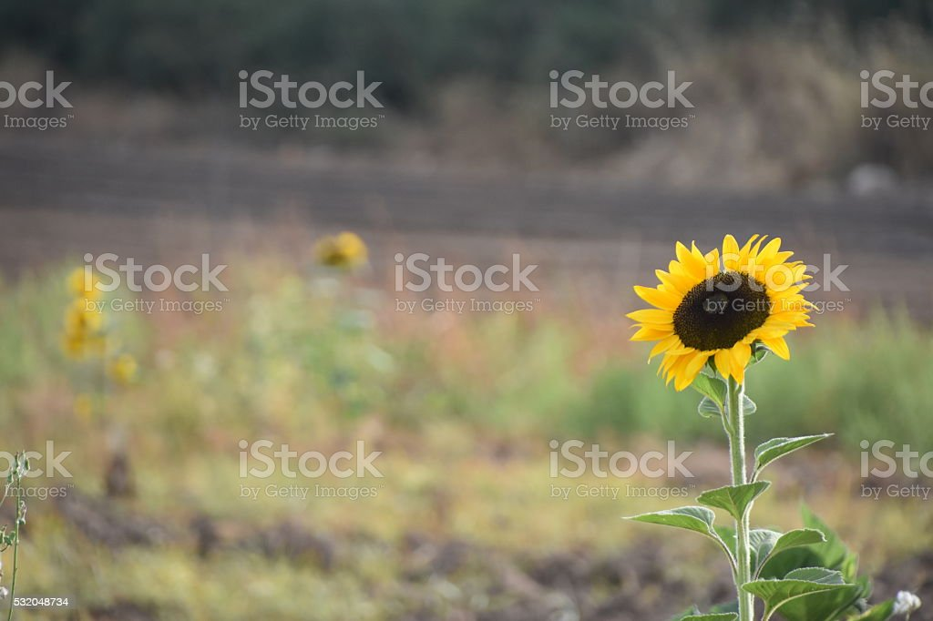 Lonely Sunflower in the Field stock photo