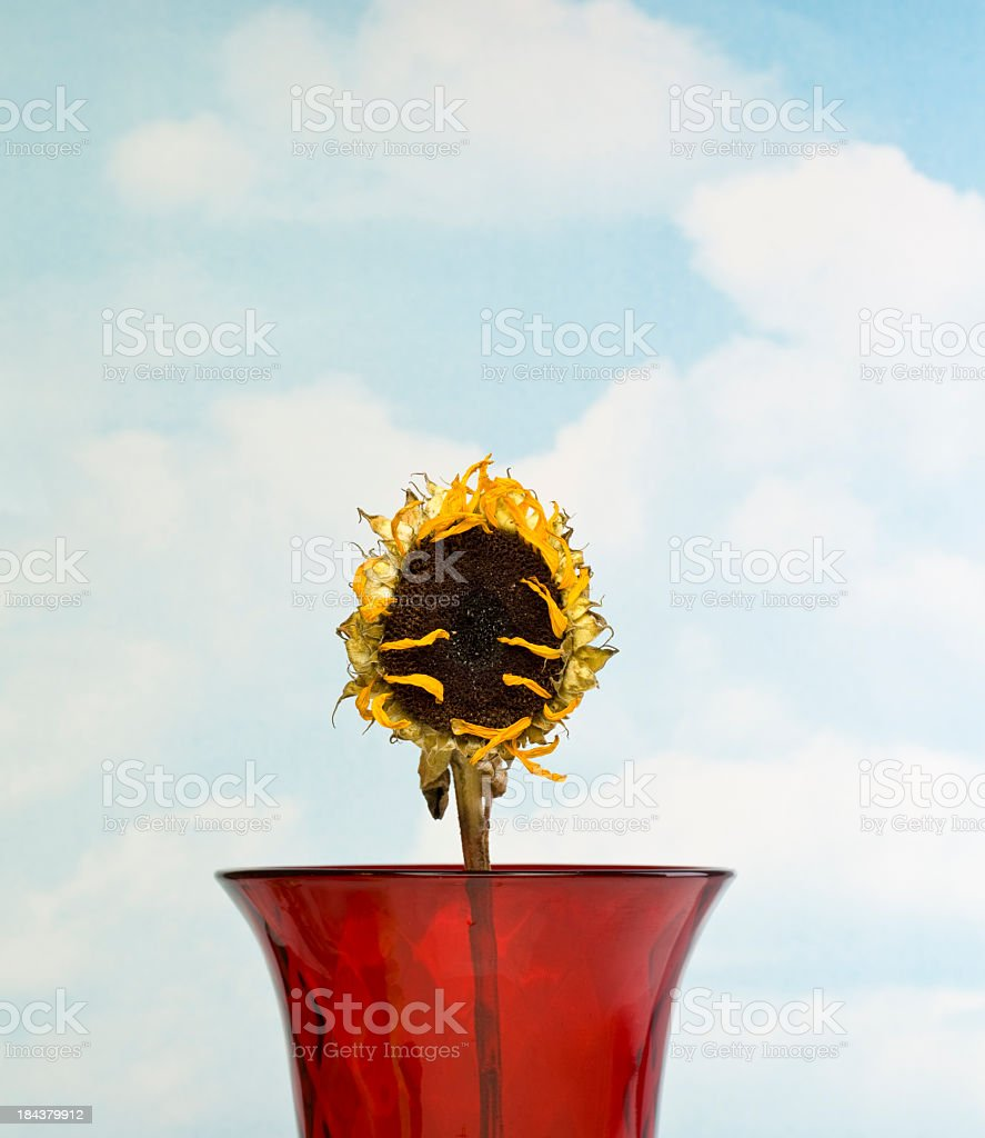Lonely Sunflower stock photo