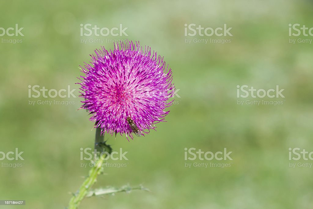Lonely thistle royalty-free stock photo