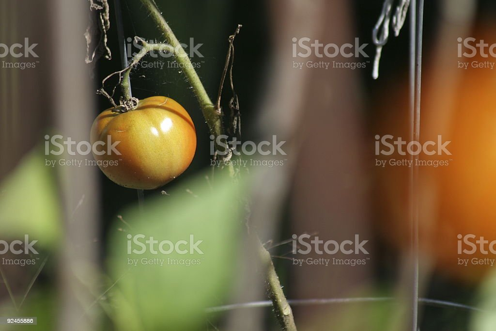 Lonely Tomato royalty-free stock photo