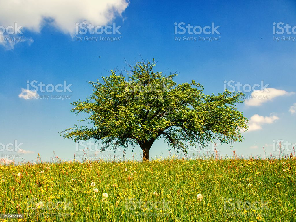 lonely tree, apple tree stock photo