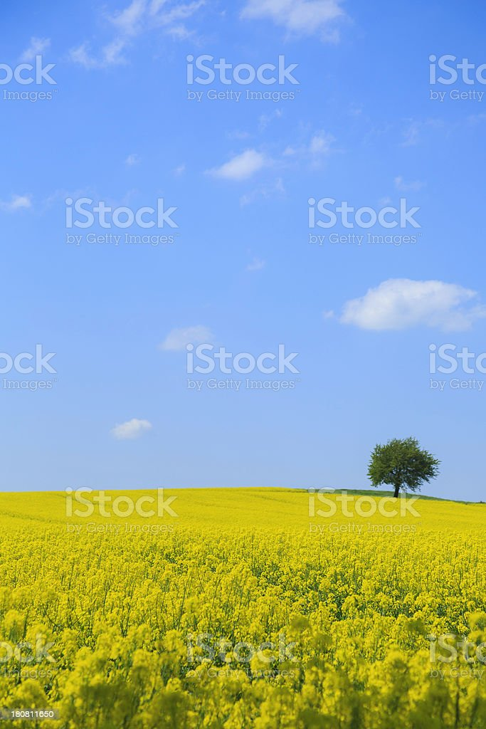 lonely tree in canola field royalty-free stock photo