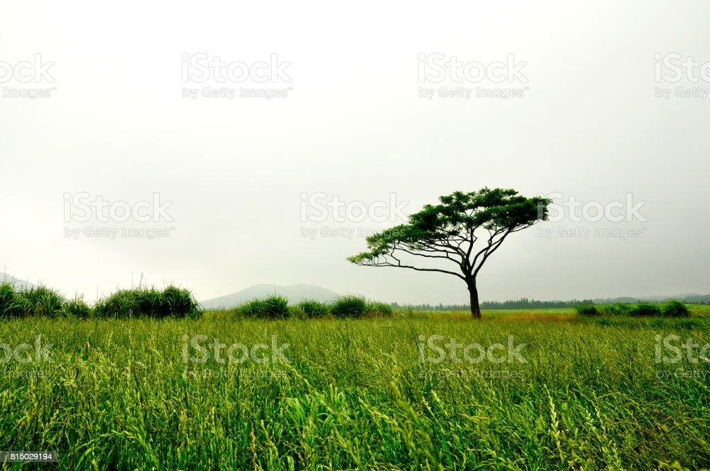 lonely tree in Jeju island stock photo