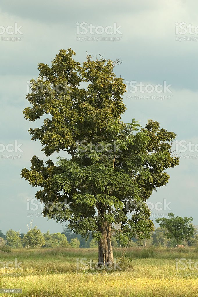 lonely tree in thailand stock photo