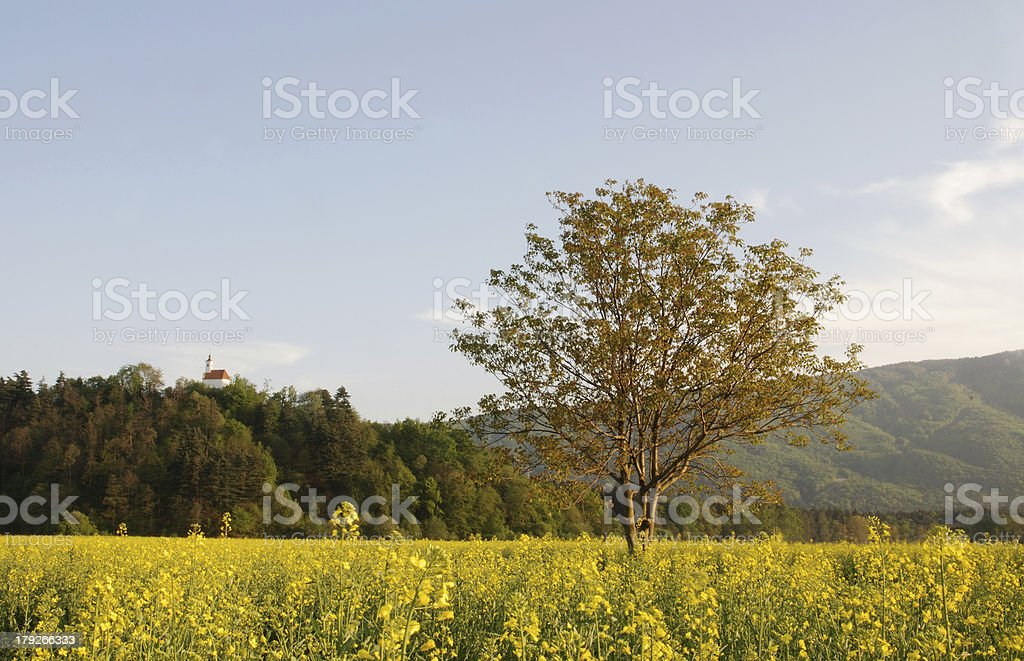 Lonely tree in the blooming field royalty-free stock photo