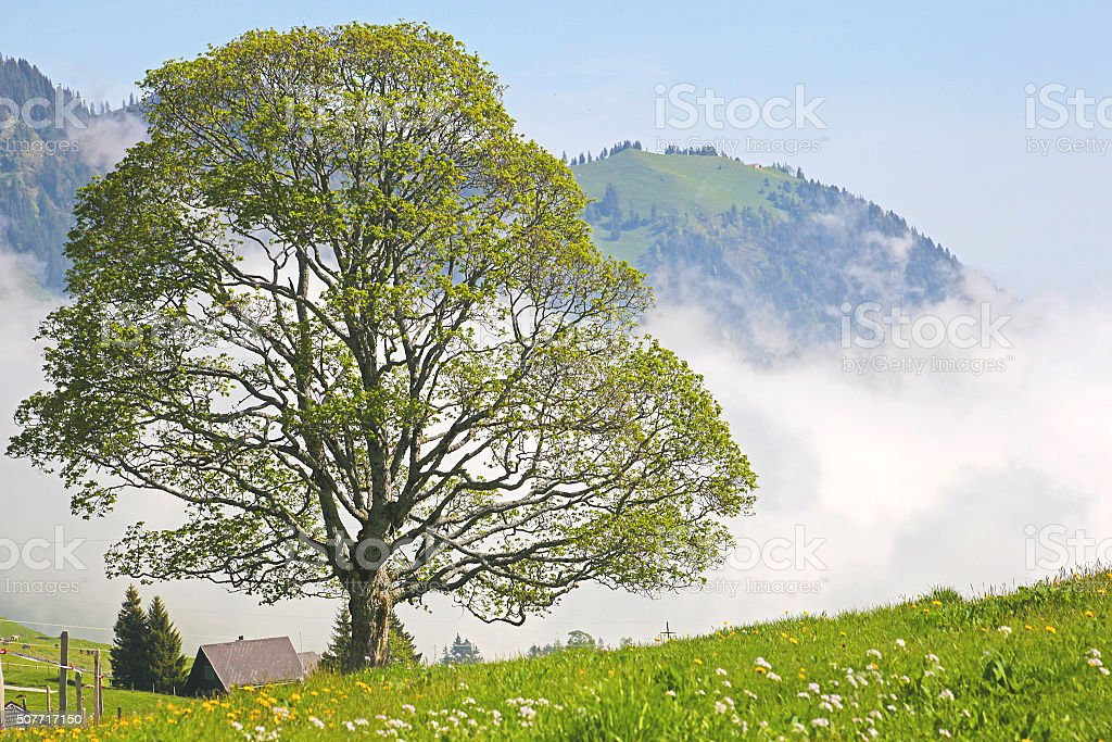 Lonely tree in the clouds in the Swiss Als. stock photo