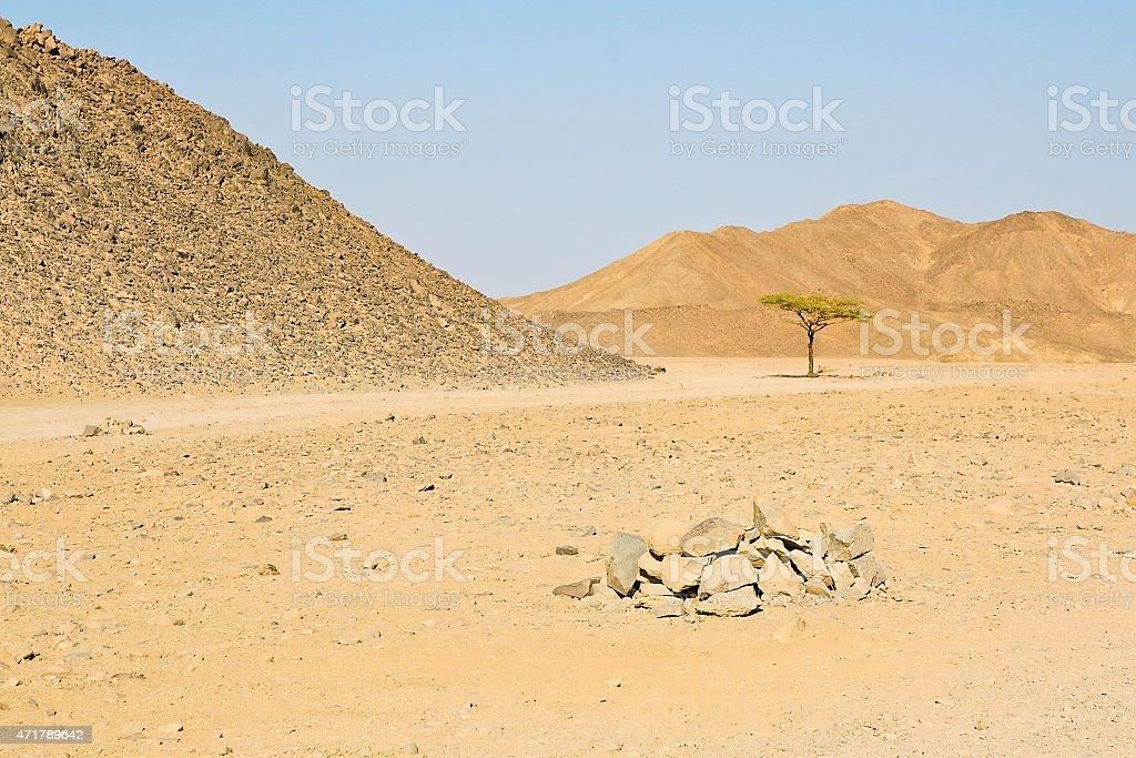 Lonely tree en el desierto egipcio foto de stock libre de derechos