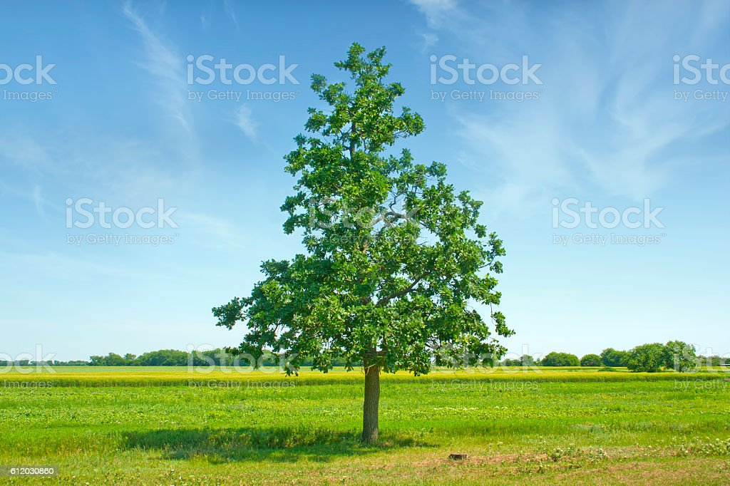 Lonely tree in the field against the blue sky stock photo