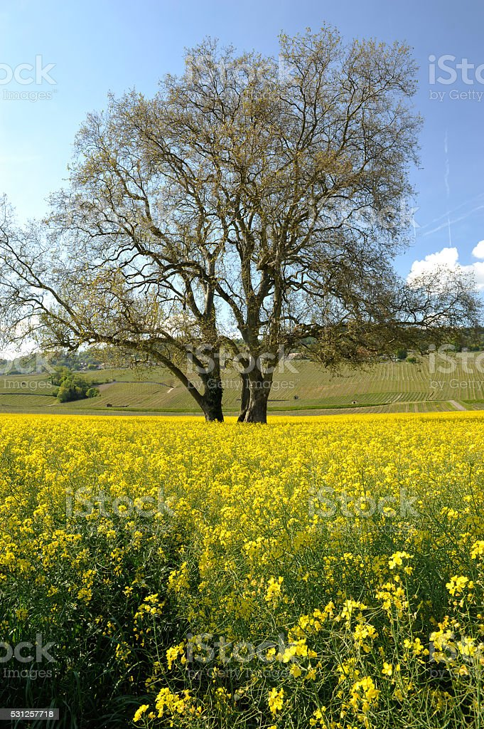 Lonely tree in the middle of a rape field stock photo