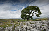 Lonely Tree Malham in the Yorkshire Dales