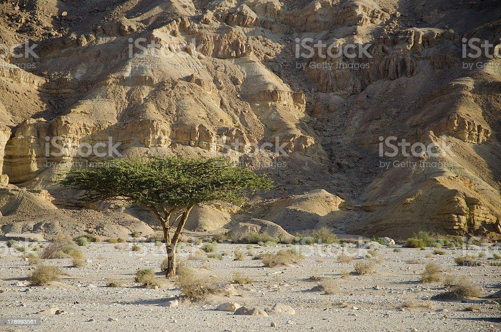 Lonely tree, Negev Desert stock photo