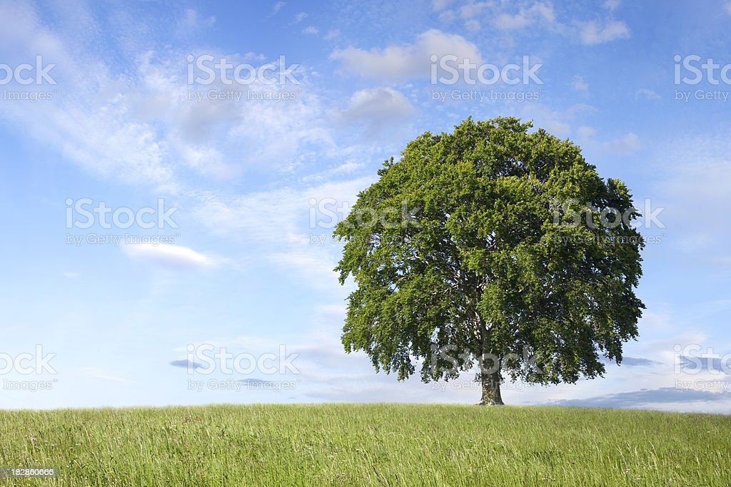 Lonely tree on green field. Beech. royalty-free stock photo
