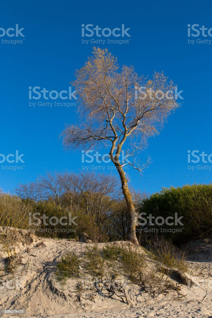 Lonely tree on the seashore stock photo