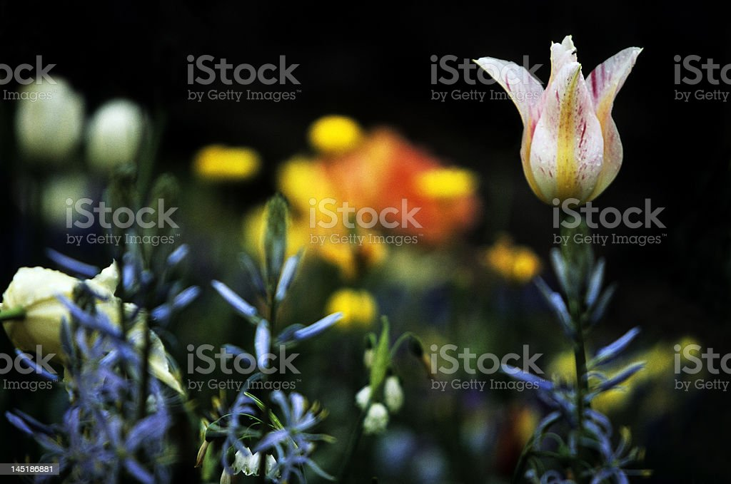 Lonely Tulip royalty-free stock photo