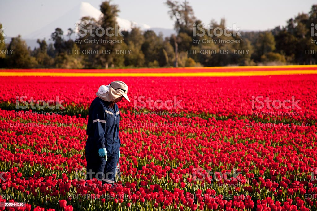 Lonely tulip worker stock photo