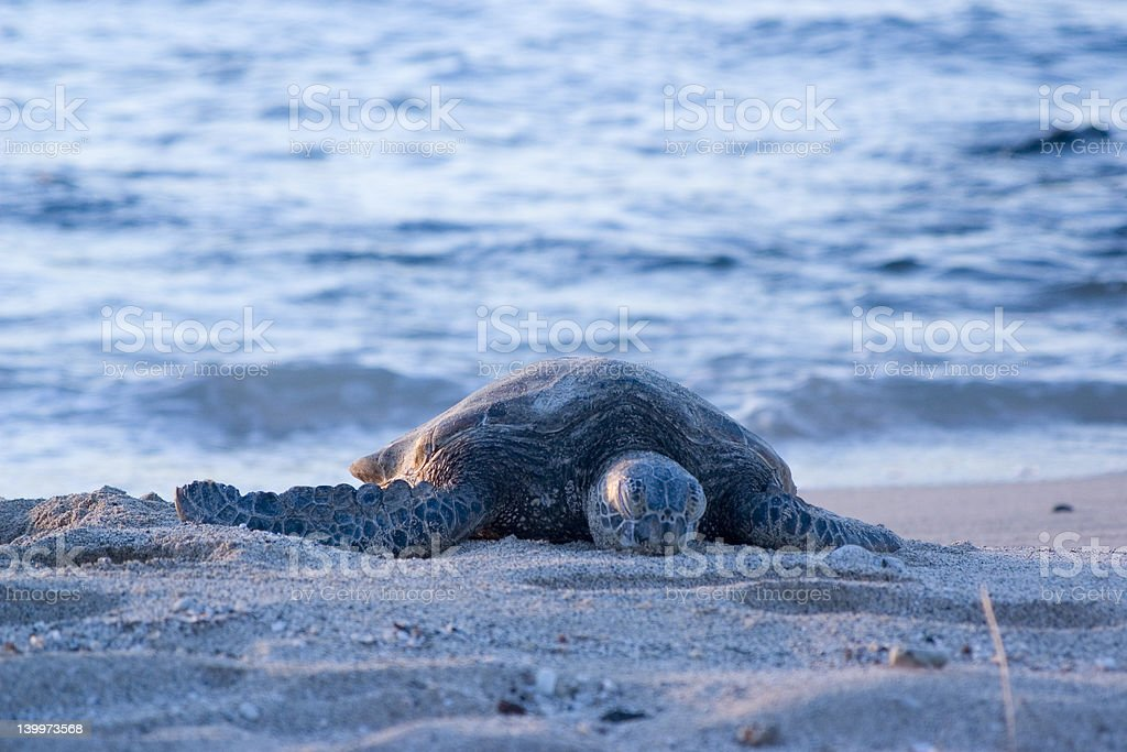 lonely turtle2 stock photo