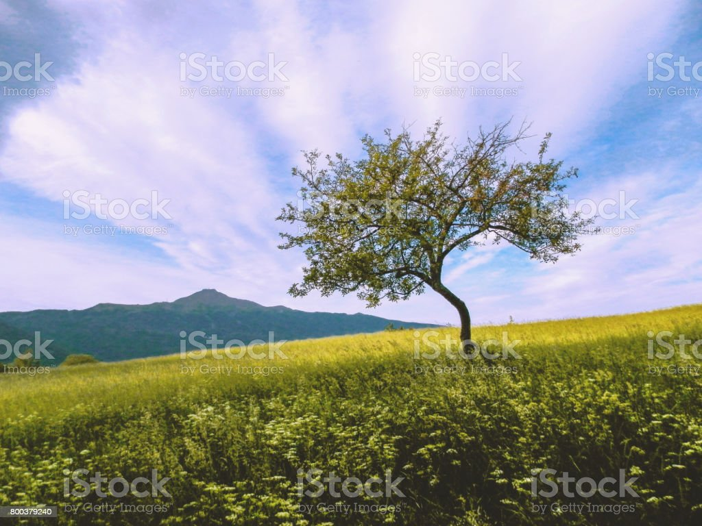 Lonely twisted tree in a summer field with mountains and blue cluody sky in the backgroud stock photo