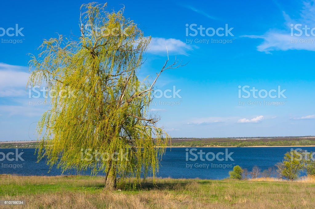 Lonely weeping willow tree stock photo