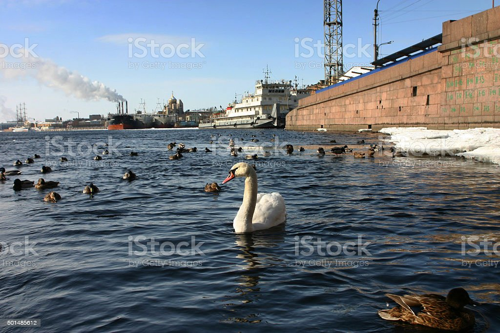 Lonely white swan floats in river navigable urban. stock photo
