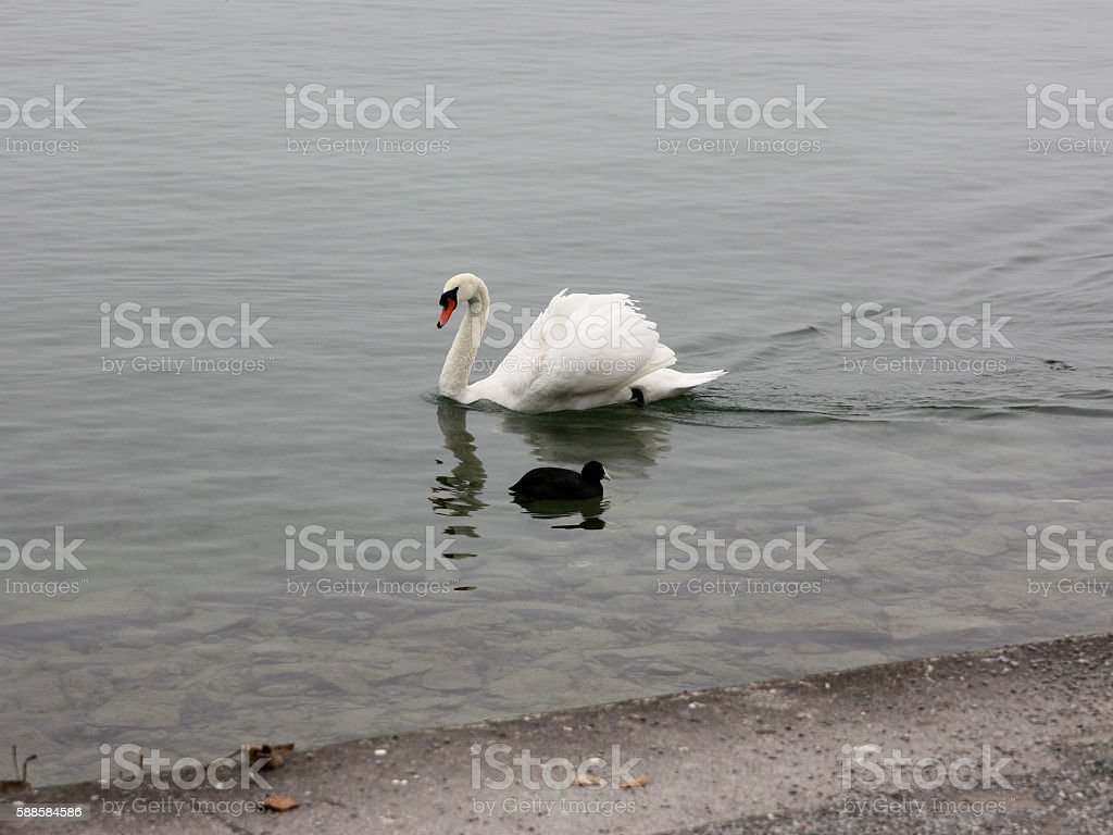 Lonely white swan landing to the cold lake. stock photo