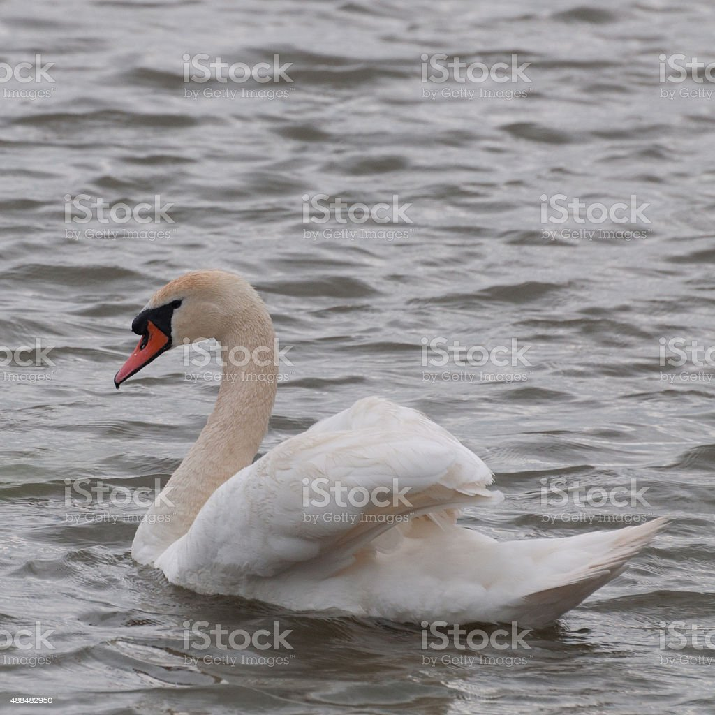 lonely white swan on water royalty-free stock photo