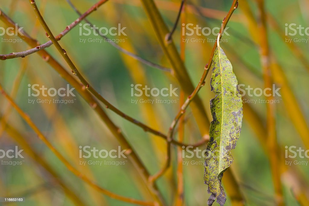 lonely willow leaf royalty-free stock photo