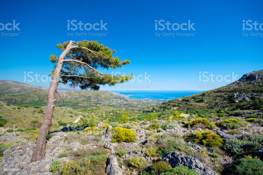 Lonely wind beaten tree on a cretan mountain with view to the sea. Typical cretan rural mountain landscape. stock photo