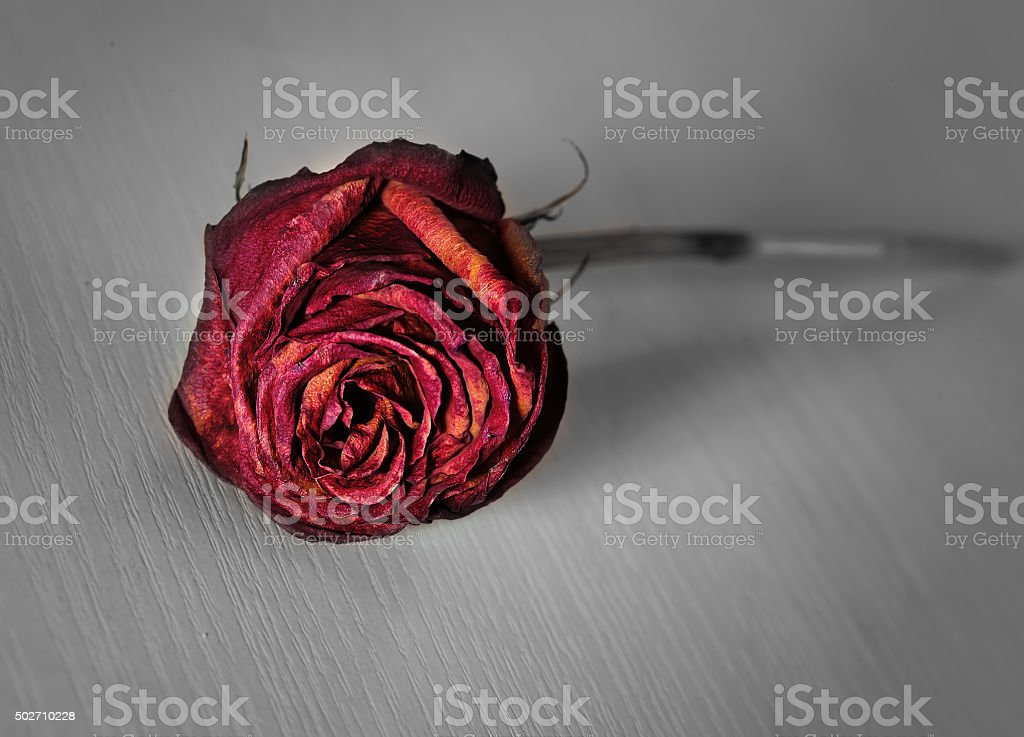 Lonely withered rose thrown cruel hand stock photo