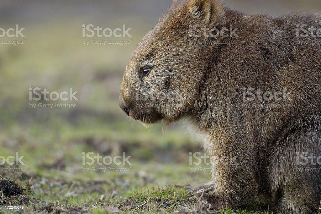 Lonely Wombat stock photo
