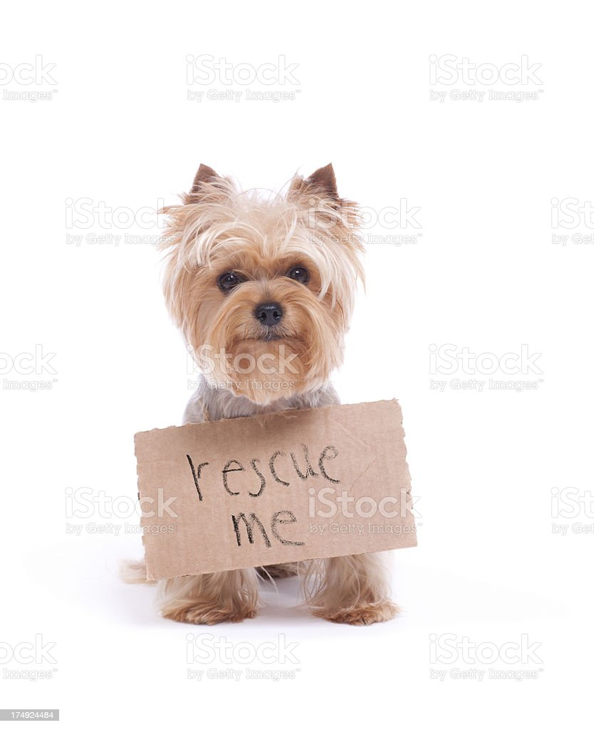 Lonely Yorkshire Terrier Holding a Sign stock photo